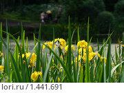 Желтые ирисы на фоне пруда. Стоковое фото, фотограф Бельская (Ненько) Анастасия / Фотобанк Лори