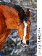 Купить «Портрет гнедой лошади в зимнем лесу», фото № 1442447, снято 2 февраля 2010 г. (c) Титаренко Елена / Фотобанк Лори