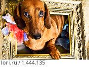 Собака такса в рамке. Стоковое фото, фотограф Сунгатулина Эльвира / Фотобанк Лори