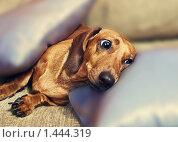Собака такса на подушках. Стоковое фото, фотограф Сунгатулина Эльвира / Фотобанк Лори
