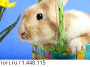 Купить «Кролик в корзине с желтыми тюльпанами», фото № 1448115, снято 15 апреля 2009 г. (c) Александр Паррус / Фотобанк Лори