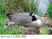 Купить «Канадская гусыня на гнезде», фото № 1458495, снято 25 апреля 2007 г. (c) Ирина Кожемякина / Фотобанк Лори