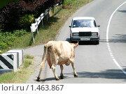 Корова против авто (2009 год). Редакционное фото, фотограф Владимир Васильев / Фотобанк Лори