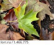 Фон из опавших листьев клена. Стоковое фото, фотограф Анна Гаматина / Фотобанк Лори