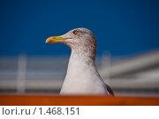 Морская чайка. Портрет. Стоковое фото, фотограф Katerina Uno / Фотобанк Лори
