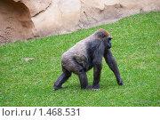 Купить «Горилла идет по траве», фото № 1468531, снято 15 сентября 2008 г. (c) Сергей Яковлев / Фотобанк Лори