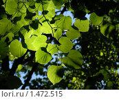 Купить «Зеленые листья деревьев», фото № 1472515, снято 3 июня 2007 г. (c) Кардаков Алексей Игоревич / Фотобанк Лори