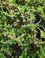 Черника. Ягоды и листья. Западные Саяны, Хакасия., фото № 1474167, снято 17 августа 2008 г. (c) Воу-воу-воу пам-па-рам / Фотобанк Лори