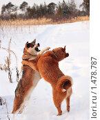 Купить «Охотничьи собаки дерутся. Зима», фото № 1478787, снято 7 января 2008 г. (c) Алексей Рогожа / Фотобанк Лори