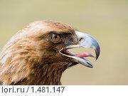Купить «Беркут. Aquila chrysaëtos», фото № 1481147, снято 17 июня 2009 г. (c) Александр Подшивалов / Фотобанк Лори
