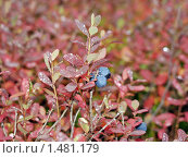 Купить «Голубика на ветке», фото № 1481179, снято 11 сентября 2006 г. (c) Евгений Ткачёв / Фотобанк Лори