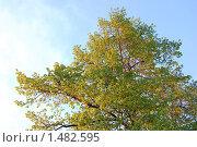Липа на фоне неба. Стоковое фото, фотограф Мария Толпыго / Фотобанк Лори