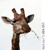 Московский зоопарк. Жираф жуёт сухую траву. Стоковое фото, фотограф Павел Красихин / Фотобанк Лори