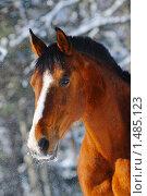 Купить «Портрет гнедой лошади в зимнем лесу», фото № 1485123, снято 2 февраля 2010 г. (c) Титаренко Елена / Фотобанк Лори