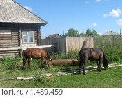 Купить «Лошади у дома щиплют траву», фото № 1489459, снято 3 августа 2008 г. (c) Людмила Банникова / Фотобанк Лори