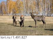 Группа оленей. Стоковое фото, фотограф Евгений Гультяев / Фотобанк Лори