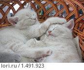 Купить «Серые котята спят в корзинке», фото № 1491923, снято 19 апреля 2008 г. (c) Наталья Двухимённая / Фотобанк Лори