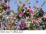 Розовое цветение веток яблони. Стоковое фото, фотограф Евгений Ореховский / Фотобанк Лори