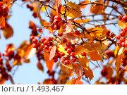 Боярышник на фоне голубого неба. Стоковое фото, фотограф Ткачёва Ольга / Фотобанк Лори