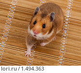 Купить «Хомяк сирийский, хомячок, Golden, Syrian Hamster, Goldhamster, Mesocricetus auratus», фото № 1494363, снято 18 февраля 2010 г. (c) Василий Вишневский / Фотобанк Лори