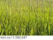 Сочная трава пырей, Elytrigia. Стоковое фото, фотограф Евгений Ореховский / Фотобанк Лори