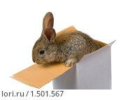 Купить «Серый кролик в коробке, изолированно на белом фоне», фото № 1501567, снято 16 сентября 2007 г. (c) Алексей Ухов / Фотобанк Лори