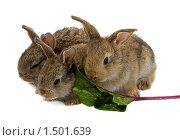 Купить «Три кролика с листом свеклы», фото № 1501639, снято 16 сентября 2007 г. (c) Алексей Ухов / Фотобанк Лори
