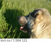 Собака в поле. Стоковое фото, фотограф Валерий Нестеров / Фотобанк Лори