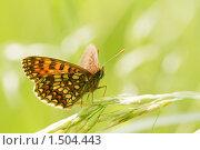 Купить «Шашечница Диктина, Melitaea diamina», фото № 1504443, снято 12 июня 2009 г. (c) Михаил Ушаков / Фотобанк Лори