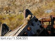 Полярный суслик. Стоковое фото, фотограф Вадим Морозов / Фотобанк Лори