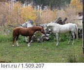Купить «Лошади приветствуют друг друга», фото № 1509207, снято 9 октября 2008 г. (c) Людмила Банникова / Фотобанк Лори