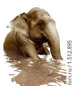 Купающийся слон. Стоковое фото, фотограф Виктор Застольский / Фотобанк Лори