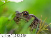 Лесная зелёная жаба. Стоковое фото, фотограф Медер Анатолий Викторович / Фотобанк Лори