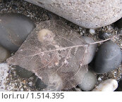 Лист призрак на морском берегу. Стоковое фото, фотограф Оксана Кулиненко / Фотобанк Лори