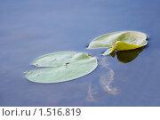 Листья растения водная лилия (кувшинка) в озере. Стоковое фото, фотограф Сергей Данилов / Фотобанк Лори