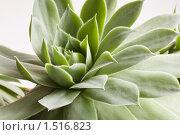 Комнатное растение суккулент, крупным планом. Стоковое фото, фотограф Сергей Данилов / Фотобанк Лори