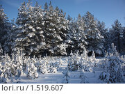 Заснеженный лес. Стоковое фото, фотограф Елена Мурашева / Фотобанк Лори