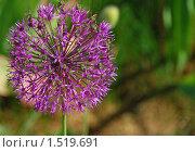 Купить «Лук голландский декоративный (Allium hollandicum)», эксклюзивное фото № 1519691, снято 4 июня 2009 г. (c) lana1501 / Фотобанк Лори