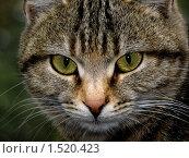 Купить «Кот», фото № 1520423, снято 4 октября 2009 г. (c) Андрей Оспищев / Фотобанк Лори