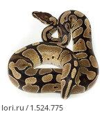 Купить «Питон королевский, Python regius», фото № 1524775, снято 2 марта 2010 г. (c) Василий Вишневский / Фотобанк Лори