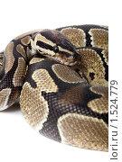 Купить «Питон королевский, Python regius», фото № 1524779, снято 2 марта 2010 г. (c) Василий Вишневский / Фотобанк Лори