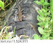Купить «Ящерица», фото № 1524911, снято 29 июня 2009 г. (c) Алексей Алексеев / Фотобанк Лори