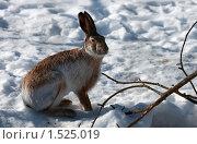 Купить «Заяц сидит на снегу», фото № 1525019, снято 4 марта 2010 г. (c) Яна Королёва / Фотобанк Лори