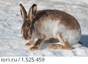 Купить «Заяц на снегу», фото № 1525459, снято 4 марта 2010 г. (c) Яна Королёва / Фотобанк Лори