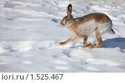 Купить «Заяц бежит по снегу», фото № 1525467, снято 4 марта 2010 г. (c) Яна Королёва / Фотобанк Лори