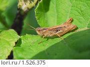 Купить «Кобылка  (Orthoptera)», эксклюзивное фото № 1526375, снято 28 июня 2009 г. (c) Алёшина Оксана / Фотобанк Лори