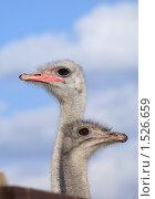 Купить «Страусы», эксклюзивное фото № 1526659, снято 4 марта 2010 г. (c) Яна Королёва / Фотобанк Лори