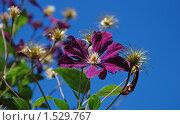 Купить «Фиолетовый клематис», эксклюзивное фото № 1529767, снято 10 августа 2009 г. (c) lana1501 / Фотобанк Лори