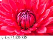 Купить «Красный цветок георгины», фото № 1536735, снято 13 сентября 2009 г. (c) Александр Косарев / Фотобанк Лори