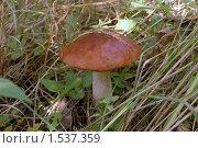 Купить «Подосиновик в траве», фото № 1537359, снято 29 августа 2009 г. (c) Александр Максимов / Фотобанк Лори